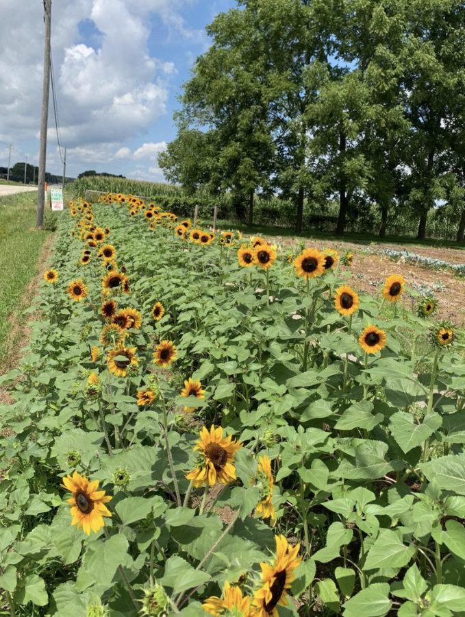 M sunflowers